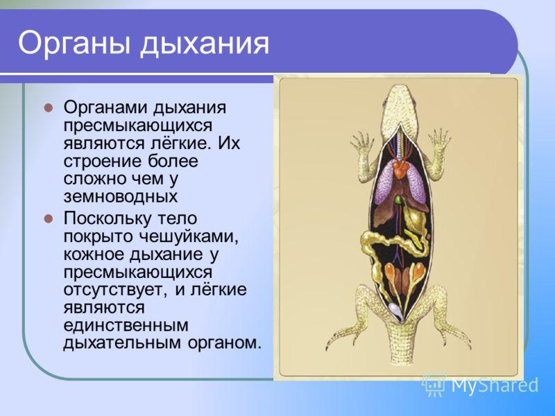 Органы дыхания Органами дыхания пресмыкающихся являются лёгкие. Их строение более сложно чем у земноводных Поскольку тело покрыто чешуйками, кожное дыхание у пресмыкающихся отсутствует, и лёгкие являются единственным дыхательным органом.