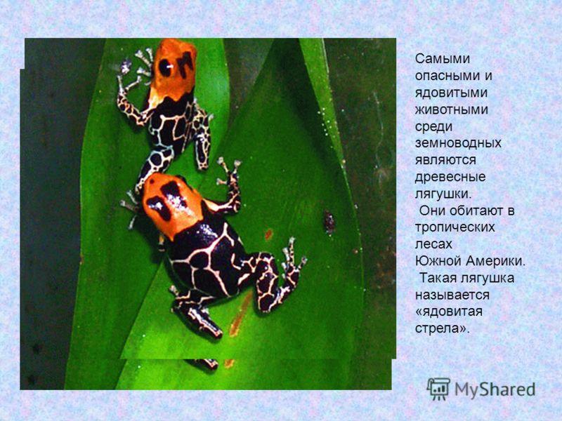 Самыми опасными и ядовитыми животными среди земноводных являются древесные лягушки. Они обитают в тропических лесах Южной Америки. Такая лягушка называется «ядовитая стрела».