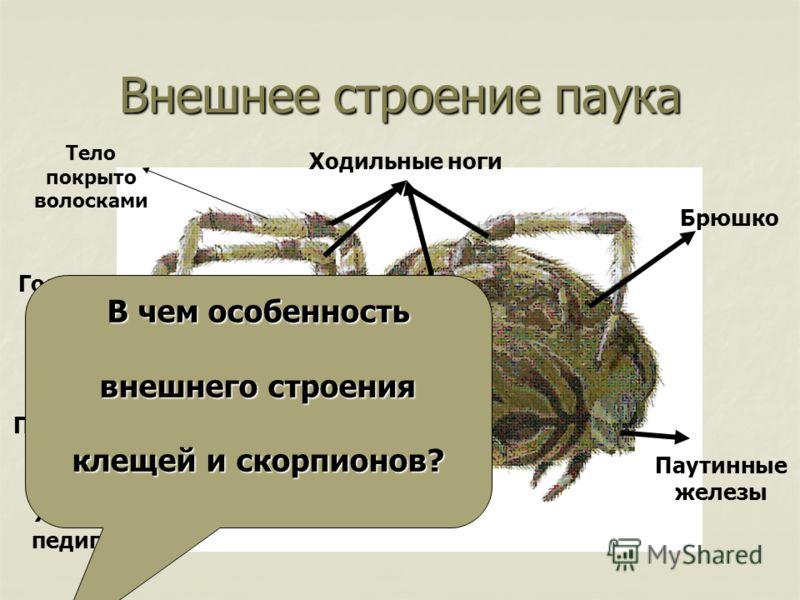 Внешнее строение паука Ходильные ноги Брюшко Паутинные железы Хелицеры и педипальпы Простые глазки Головогрудь В чем особенность внешнего строения клещей и скорпионов? Тело покрыто волосками