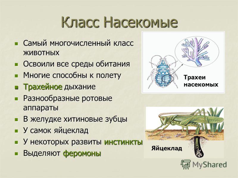 Трахеи насекомых Класс Насекомые Самый многочисленный класс животных Самый многочисленный класс животных Освоили все среды обитания Освоили все среды обитания Многие способны к полету Многие способны к полету Трахейное дыхание Трахейное дыхание Разно