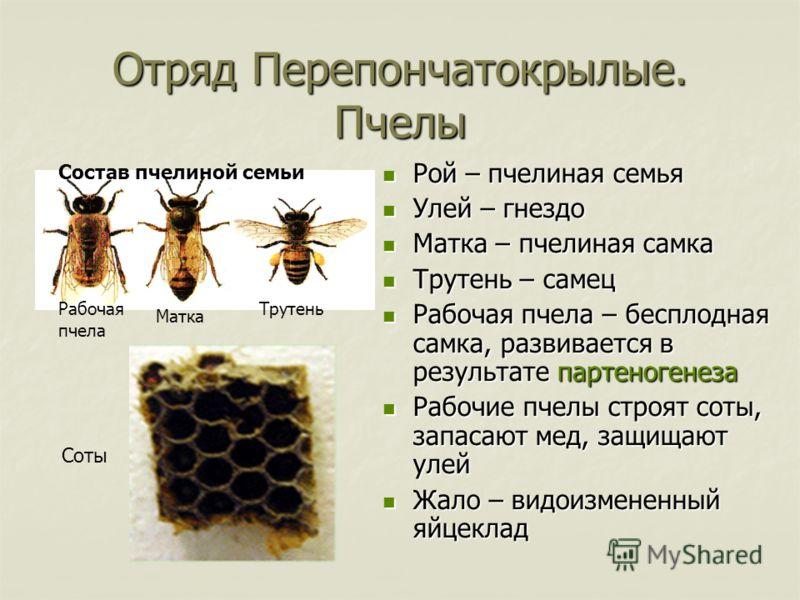 Отряд Перепончатокрылые. Пчелы Рой – пчелиная семья Рой – пчелиная семья Улей – гнездо Улей – гнездо Матка – пчелиная самка Матка – пчелиная самка Трутень – самец Трутень – самец Рабочая пчела – бесплодная самка, развивается в результате партеногенез