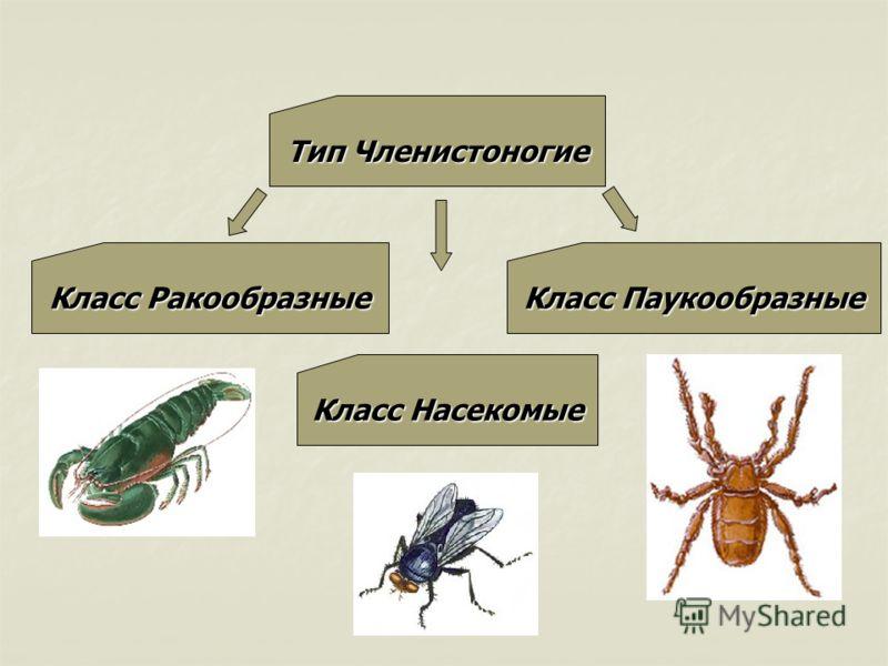 Тип Членистоногие Класс Ракообразные Класс Насекомые Класс Паукообразные