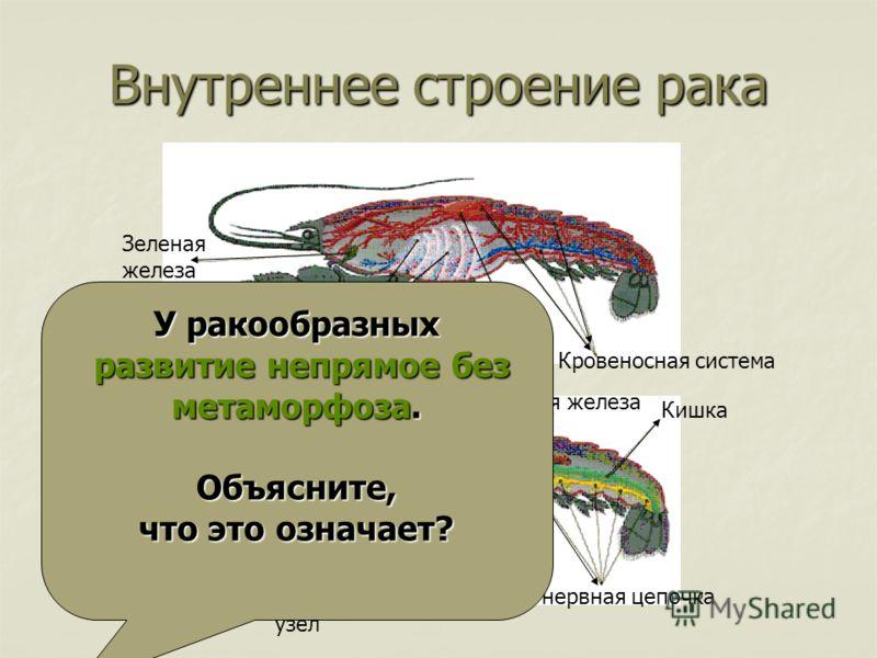 Внутреннее строение рака Сердце Кровеносная система Жабры Зеленая железа Половая железа Кишка Брюшная нервная цепочка Нервный узел Головной мозг Желудок У ракообразных развитие непрямое без метаморфоза. Объясните, что это означает?