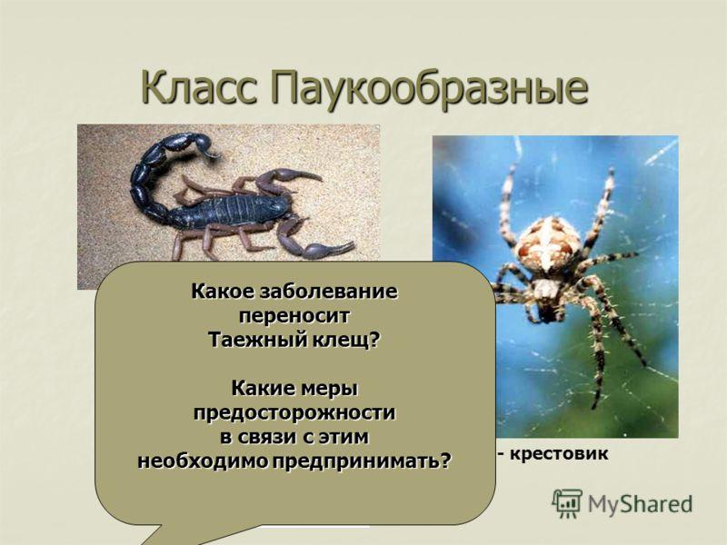 Класс Паукообразные Скорпион Таежный клещ Паук - крестовик Какое заболевание переносит Таежный клещ? Какие меры предосторожности в связи с этим необходимо предпринимать?