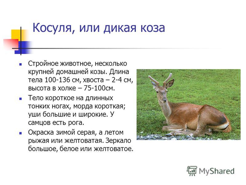 Косуля, или дикая коза Стройное животное, несколько крупней домашней козы. Длина тела 100-136 см, хвоста – 2-4 см, высота в холке – 75-100см. Тело короткое на длинных тонких ногах, морда короткая; уши большие и широкие. У самцов есть рога. Окраска зи