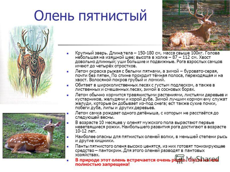 Олень пятнистый Крупный зверь. Длина тела – 150-180 см, масса свыше 100кг. Голова небольшая на изящной шее; высота в холке – 87 – 112 см. Хвост довольно длинный; уши большие и подвижные. Рога взрослых самцов имеют до четырёх отростков. Летом окраска