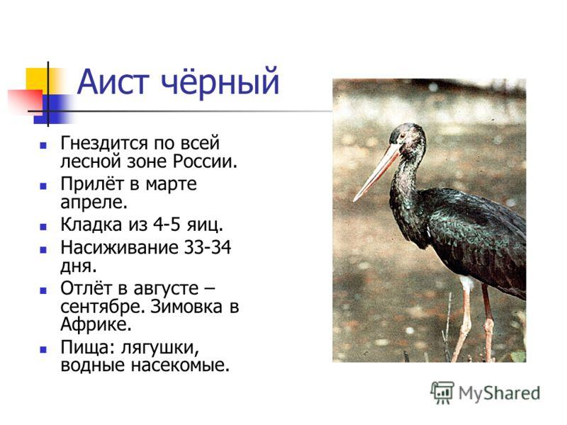 Аист чёрный Гнездится по всей лесной зоне России. Прилёт в марте апреле. Кладка из 4-5 яиц. Насиживание 33-34 дня. Отлёт в августе – сентябре. Зимовка в Африке. Пища: лягушки, водные насекомые.