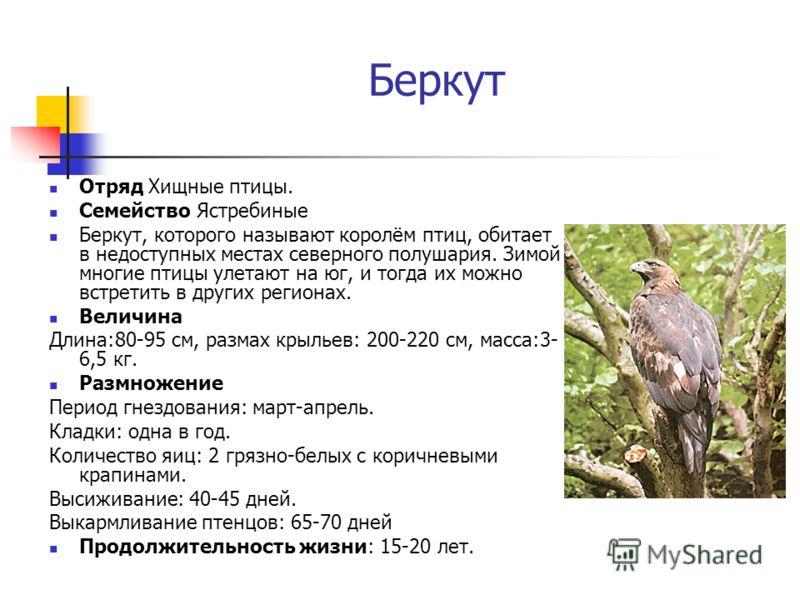 Беркут Отряд Хищные птицы. Семейство Ястребиные Беркут, которого называют королём птиц, обитает в недоступных местах северного полушария. Зимой многие птицы улетают на юг, и тогда их можно встретить в других регионах. Величина Длина:80-95 см, размах