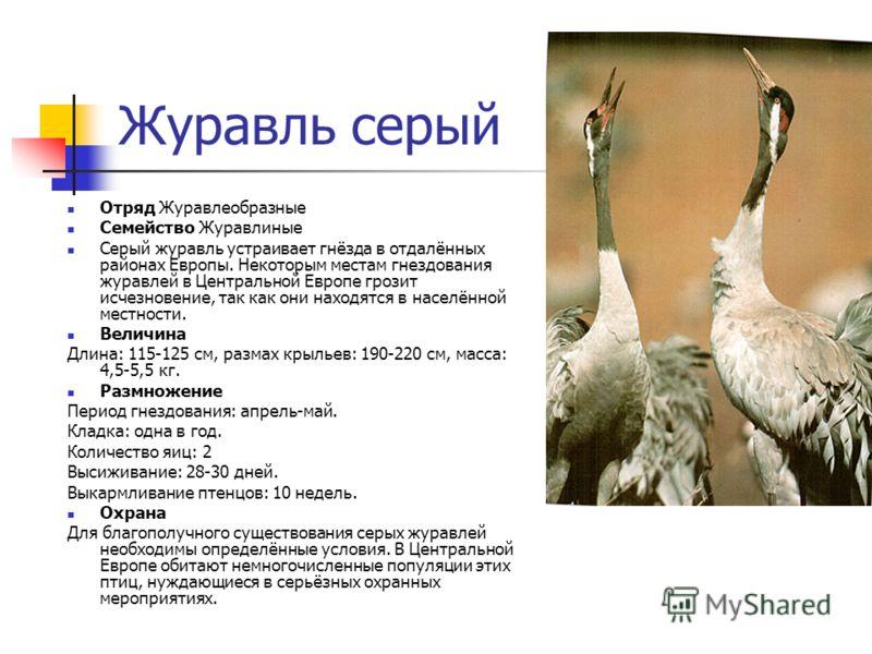 Журавль серый Отряд Журавлеобразные Семейство Журавлиные Серый журавль устраивает гнёзда в отдалённых районах Европы. Некоторым местам гнездования журавлей в Центральной Европе грозит исчезновение, так как они находятся в населённой местности. Величи