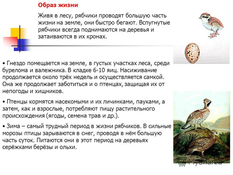 Образ жизни Живя в лесу, рябчики проводят большую часть жизни на земле, они быстро бегают. Вспугнутые рябчики всегда поднимаются на деревья и затаиваются в их кронах. Гнездо помещается на земле, в густых участках леса, среди бурелома и валежника. В к