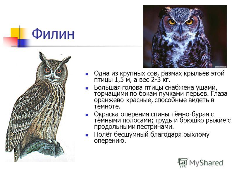 Филин Одна из крупных сов, размах крыльев этой птицы 1,5 м, а вес 2-3 кг. Большая голова птицы снабжена ушами, торчащими по бокам пучками перьев. Глаза оранжево-красные, способные видеть в темноте. Окраска оперения спины тёмно-бурая с тёмными полосам