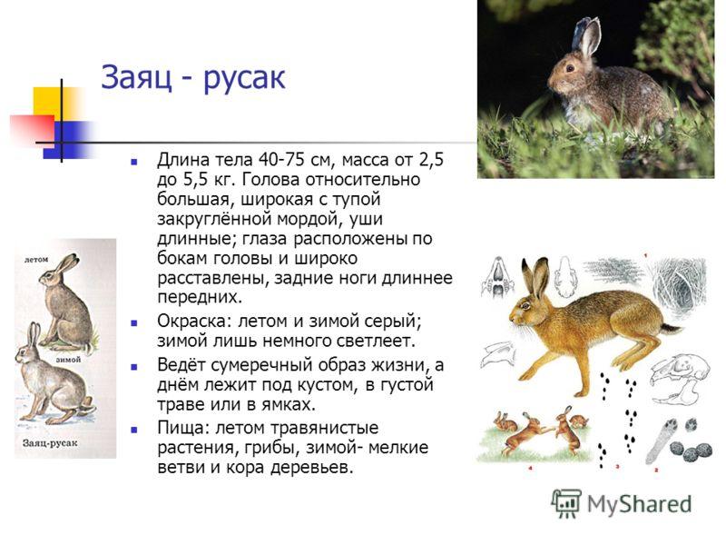 Заяц - русак Длина тела 40-75 см, масса от 2,5 до 5,5 кг. Голова относительно большая, широкая с тупой закруглённой мордой, уши длинные; глаза расположены по бокам головы и широко расставлены, задние ноги длиннее передних. Окраска: летом и зимой серы
