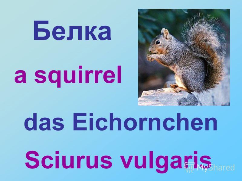 Sciurus vulgaris Белка das Eichornchen a squirrel