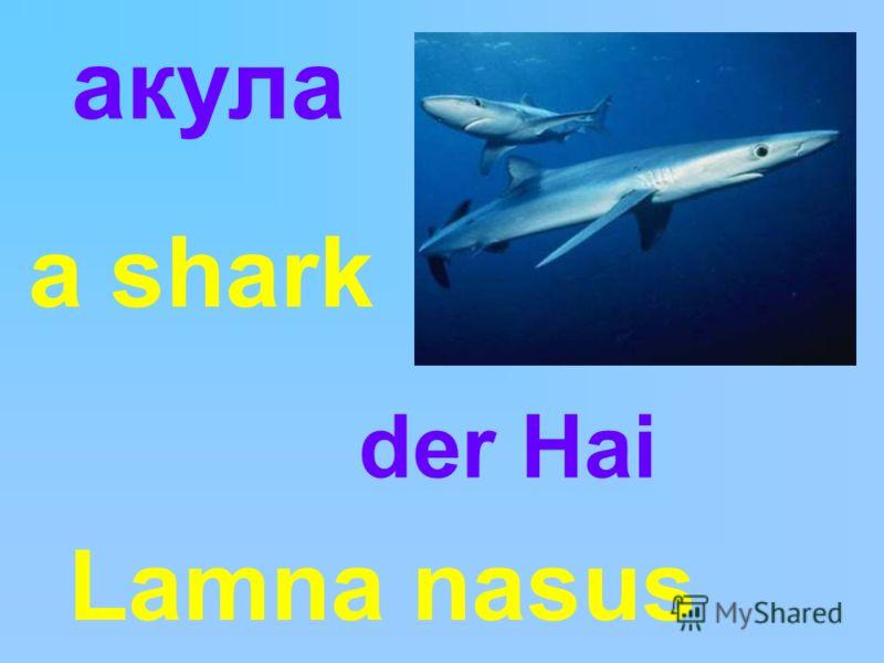 Lamna nasus акула a shark der Hai