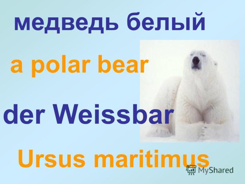 Ursus maritimus медведь белый der Weissbar a polar bear