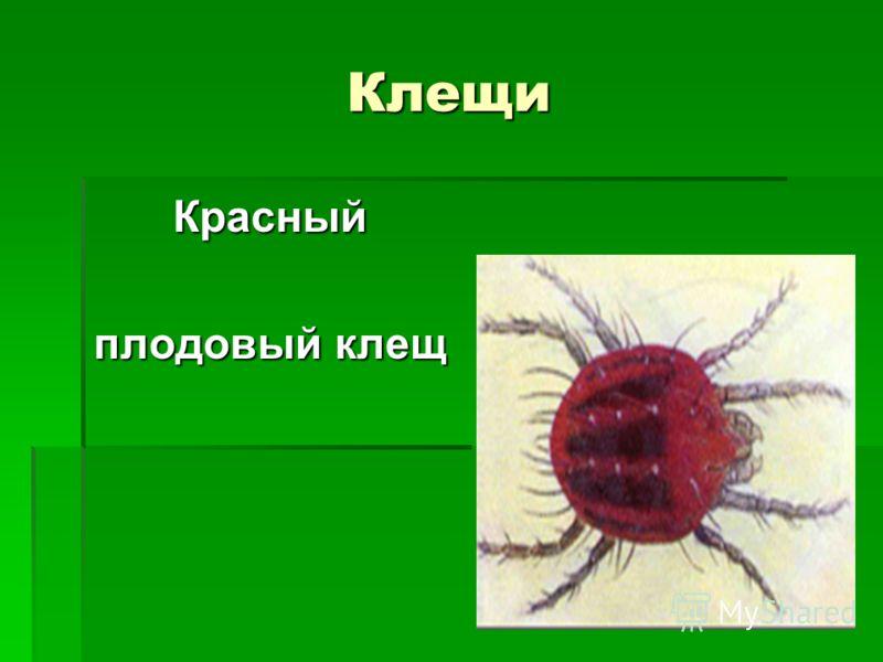 Клещи Красный плодовый клещ