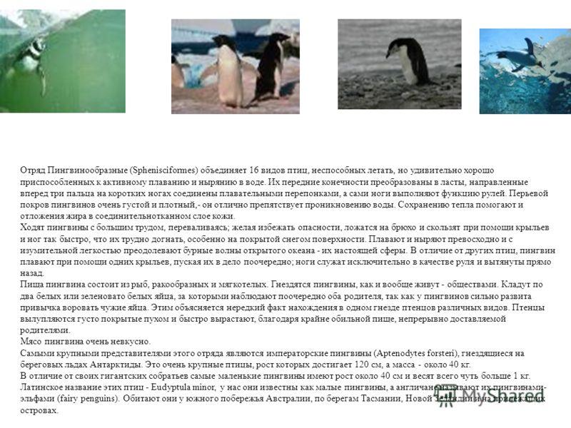 Отряд Пингвинообразные (Sphenisciformes) объединяет 16 видов птиц, неспособных летать, но удивительно хорошо приспособленных к активному плаванию и нырянию в воде. Их передние конечности преобразованы в ласты, направленные вперед три пальца на коротк