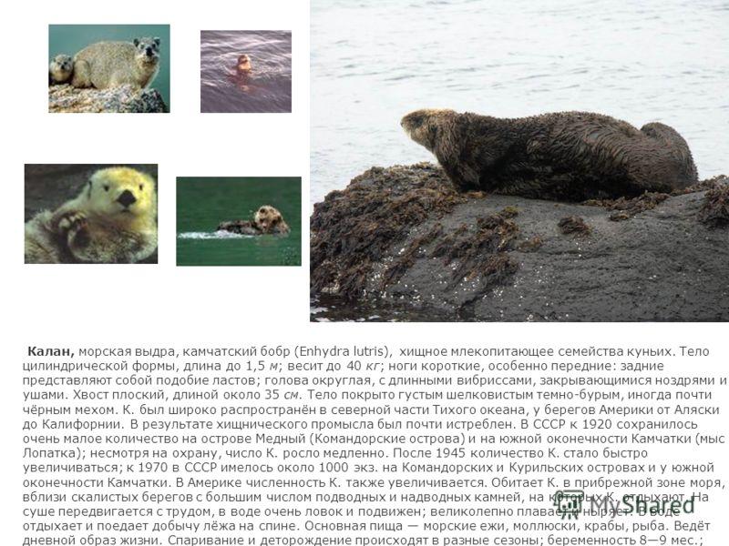 Калан, морская выдра, камчатский бобр (Enhydra lutris), хищное млекопитающее семейства куньих. Тело цилиндрической формы, длина до 1,5 м; весит до 40 кг; ноги короткие, особенно передние: задние представляют собой подобие ластов; голова округлая, с д