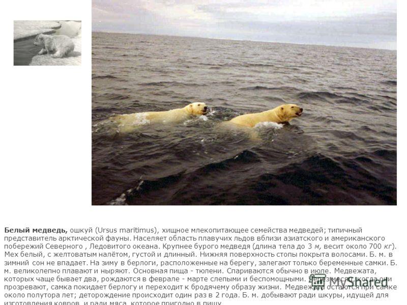Белый медведь, ошкуй (Ursus maritimus), хищное млекопитающее семейства медведей; типичный представитель арктической фауны. Населяет область плавучих льдов вблизи азиатского и американского побережий Северного, Ледовитого океана. Крупнее бурого медвед