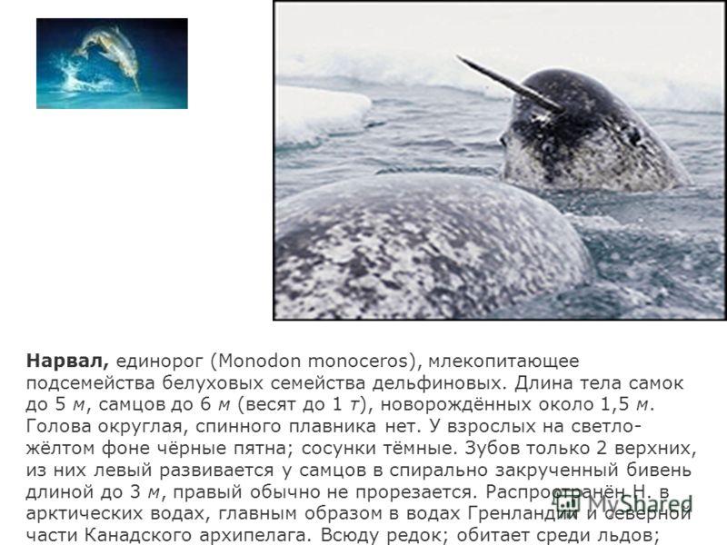 Нарвал, единорог (Monodon monoceros), млекопитающее подсемейства белуховых семейства дельфиновых. Длина тела самок до 5 м, самцов до 6 м (весят до 1 т), новорождённых около 1,5 м. Голова округлая, спинного плавника нет. У взрослых на светло- жёлтом ф