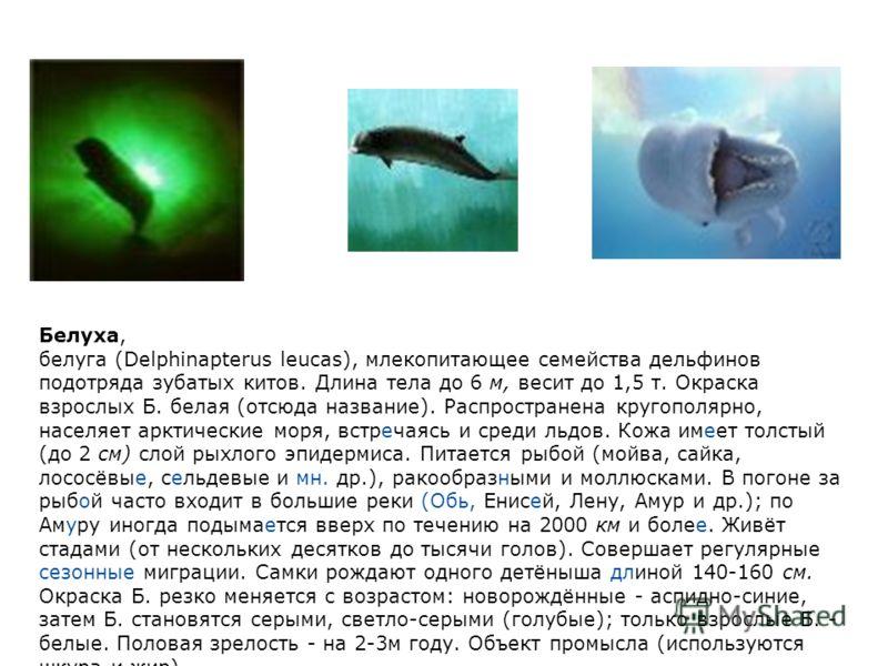 Белуха, белуга (Delphinapterus leucas), млекопитающее семейства дельфинов подотряда зубатых китов. Длина тела до 6 м, весит до 1,5 т. Окраска взрослых Б. белая (отсюда название). Распространена кругополярно, населяет арктические моря, встречаясь и ср