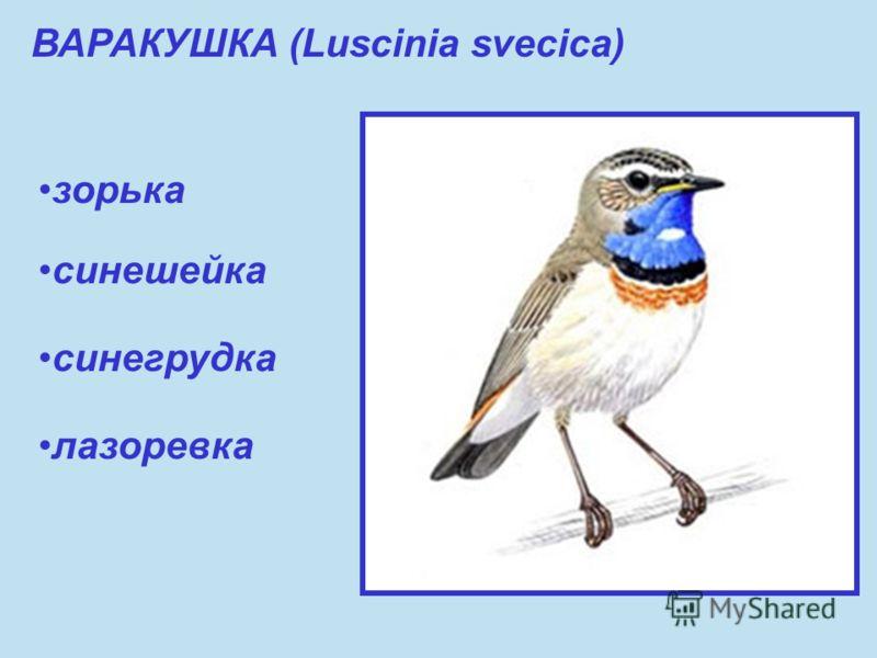 ВАРАКУШКА (Luscinia svecica) зорька синешейка синегрудка лазоревка