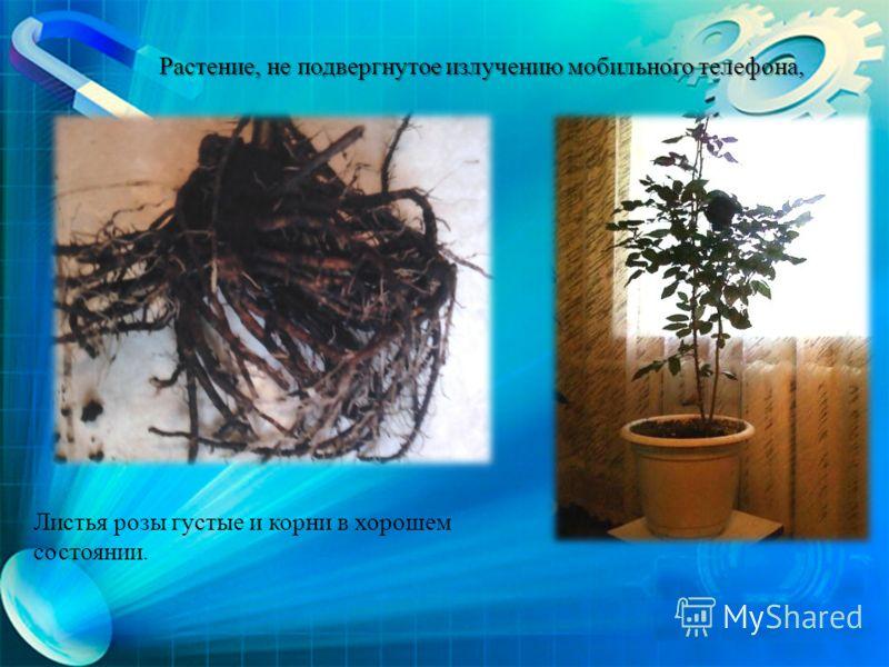 Листья розы густые и корни в хорошем состоянии. Растение, не подвергнутое излучению мобильного телефона,