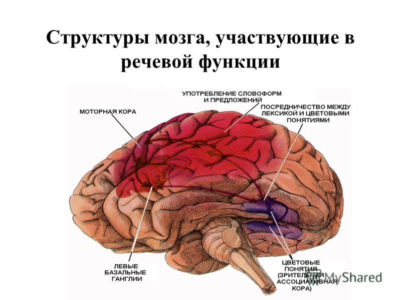 Структуры мозга, участвующие в речевой функции