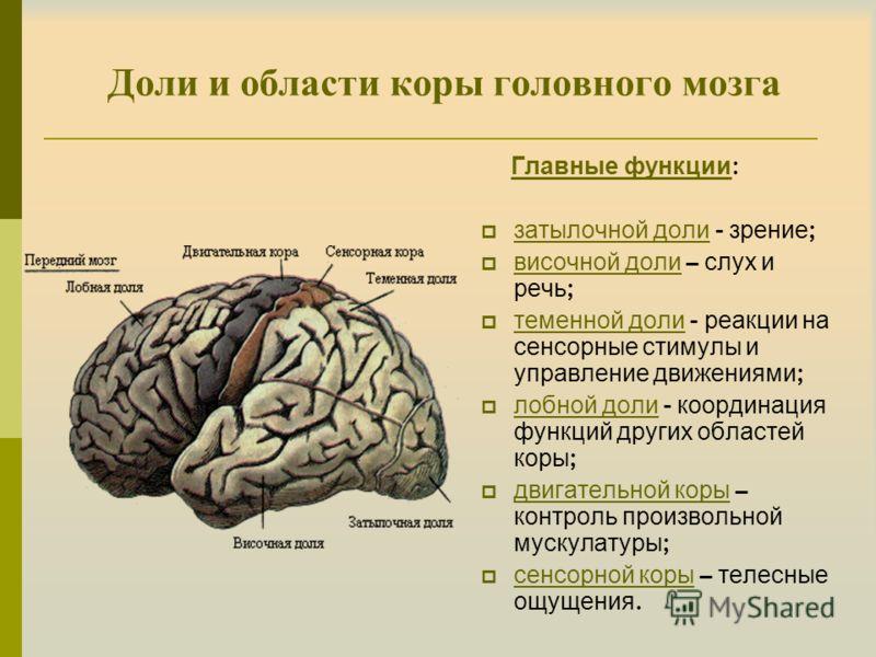 Доли и области коры головного мозга Главные функции : затылочной доли - зрение ; височной доли – слух и речь ; теменной доли - реакции на сенсорные стимулы и управление движениями ; лобной доли - координация функций других областей коры ; двигательно