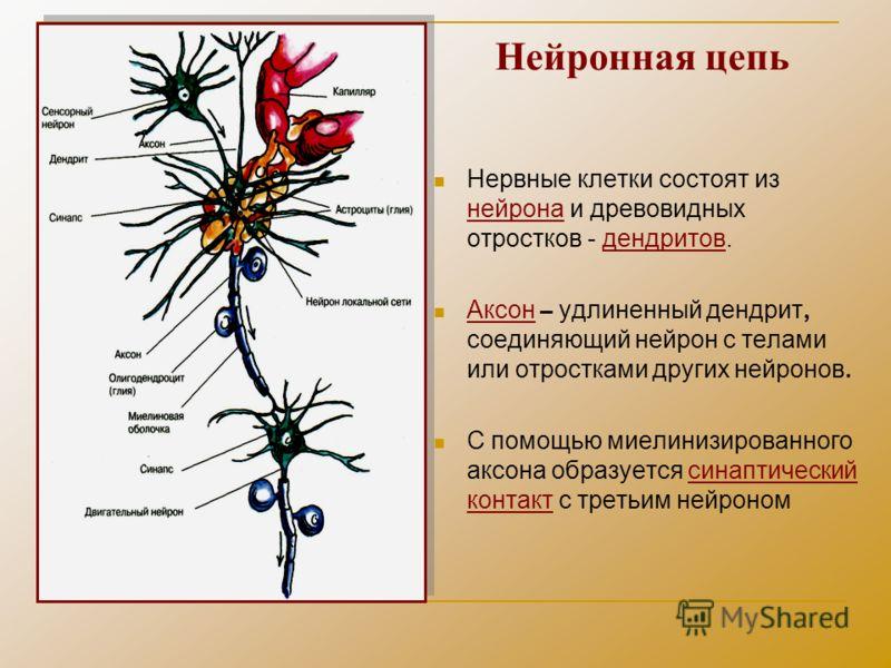 Нейронная цепь Нервные клетки состоят из нейрона и древовидных отростков - дендритов. Аксон – удлиненный дендрит, соединяющий нейрон с телами или отростками других нейронов. С помощью миелинизированного аксона образуется синаптический контакт с треть