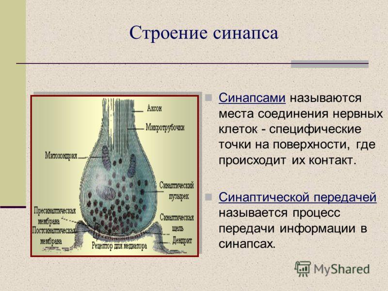 Строение синапса Синапсами называются места соединения нервных клеток - специфические точки на поверхности, где происходит их контакт. Синаптической передачей называется процесс передачи информации в синапсах.