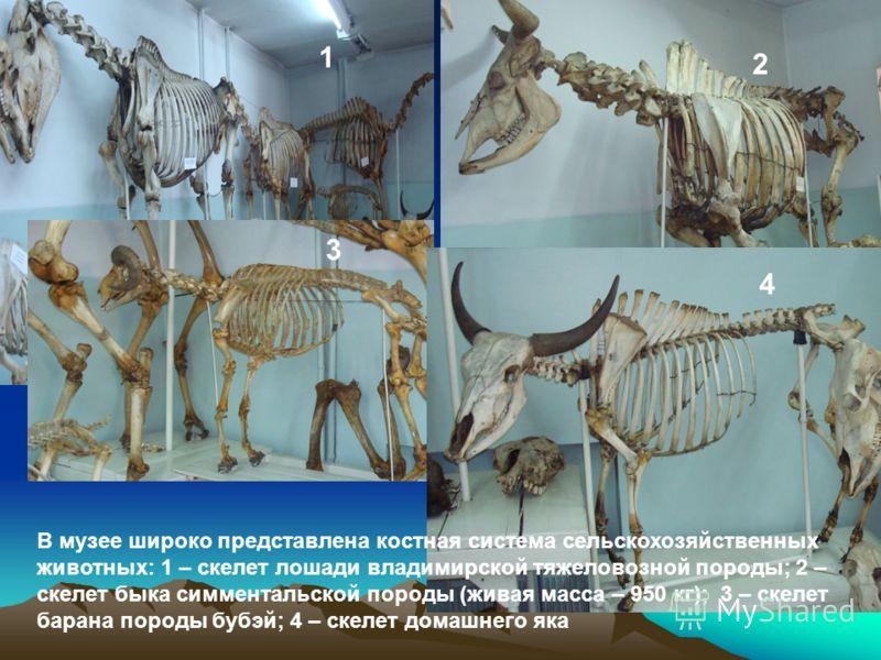 В музее широко представлена костная система сельскохозяйственных животных: 1 – скелет лошади владимирской тяжеловозной породы; 2 – скелет быка симментальской породы (живая масса – 950 кг); 3 – скелет барана породы бубэй; 4 – скелет домашнего яка 1 2