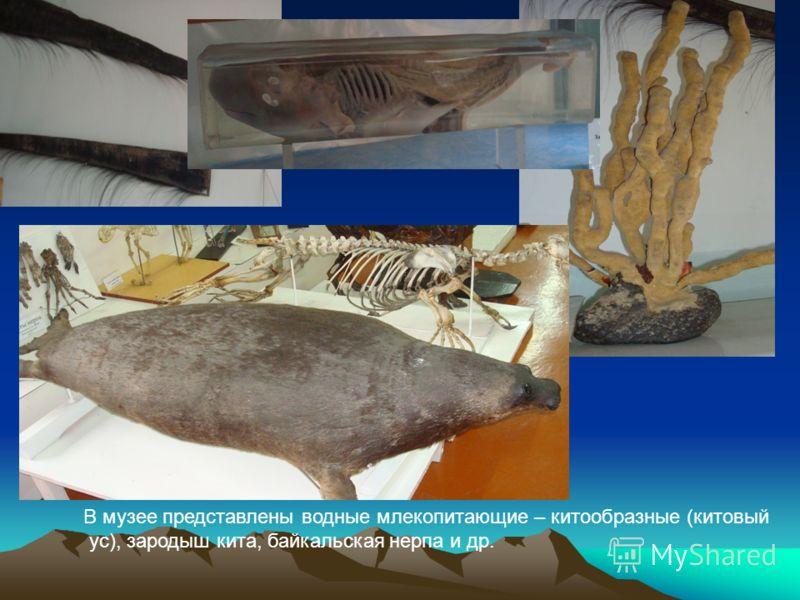 В музее представлены водные млекопитающие – китообразные (китовый ус), зародыш кита, байкальская нерпа и др.