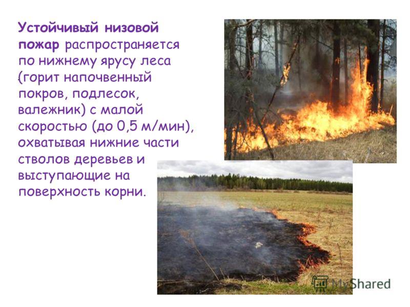 . Устойчивый низовой пожар распространяется по нижнему ярусу леса (горит напочвенный покров, подлесок, валежник) с малой скоростью (до 0,5 м/мин), охватывая нижние части стволов деревьев и выступающие на поверхность корни.