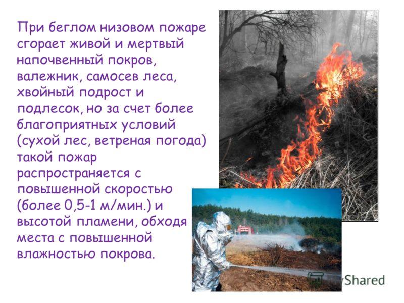 При беглом низовом пожаре сгорает живой и мертвый напочвенный покров, валежник, самосев леса, хвойный подрост и подлесок, но за счет более благоприятных условий (сухой лес, ветреная погода) такой пожар распространяется с повышенной скоростью (более 0