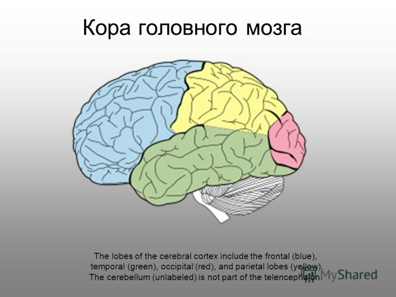 Кора головного мозга The lobes of the cerebral cortex include the frontal (blue), temporal (green), occipital (red), and parietal lobes (yellow). The cerebellum (unlabeled) is not part of the telencephalon.