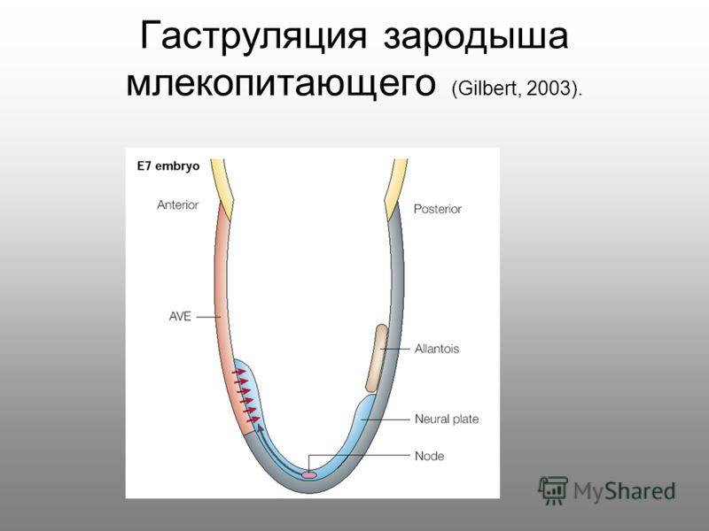 Гаструляция зародыша млекопитающего (Gilbert, 2003).