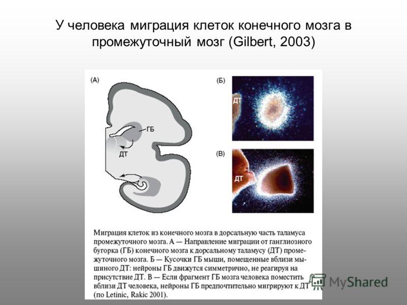 У человека миграция клеток конечного мозга в промежуточный мозг (Gilbert, 2003)