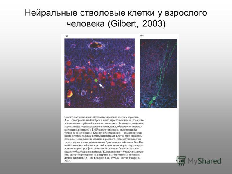 Нейральные стволовые клетки у взрослого человека (Gilbert, 2003)