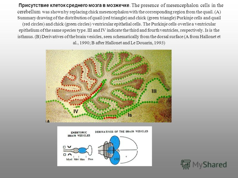 Присутствие клеток среднего мозга в мозжечке. The presence of mesencephalon cells in the cerebellum was shown by replacing chick mesencephalon with the corresponding region from the quail. (A) Summary drawing of the distribution of quail (red triangl