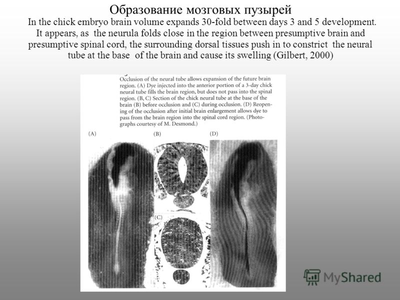 Образование мозговых пузырей In the chick embryo brain volume expands 30-fold between days 3 and 5 development. It appears, as the neurula folds close in the region between presumptive brain and presumptive spinal cord, the surrounding dorsal tissues