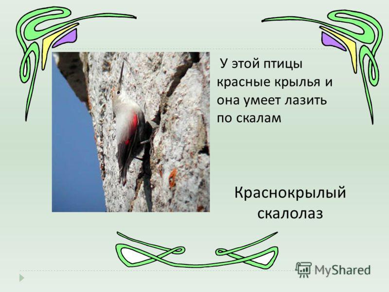 У этой птицы красные крылья и она умеет лазить по скалам Краснокрылый скалолаз