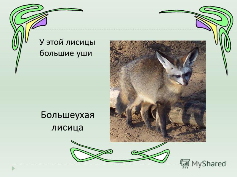 У этой лисицы большие уши Большеухая лисица