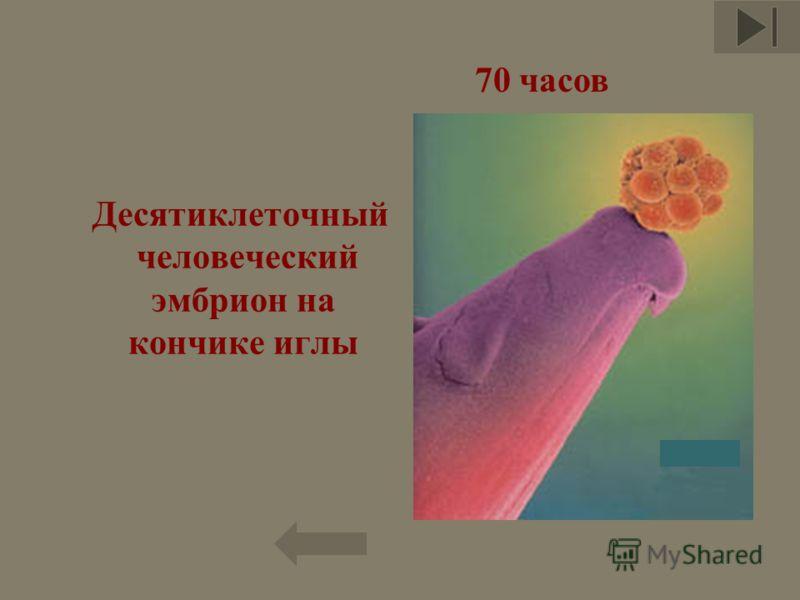 Десятиклеточный человеческий эмбрион на кончике иглы 11 70 часов