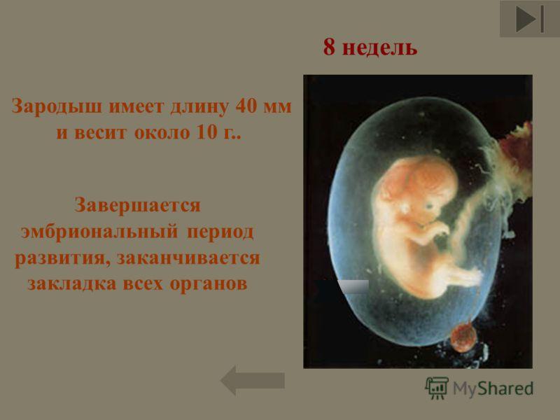 Завершается эмбриональный период развития, заканчивается закладка всех органов Зародыш имеет длину 40 мм и весит около 10 г.. 8 недель