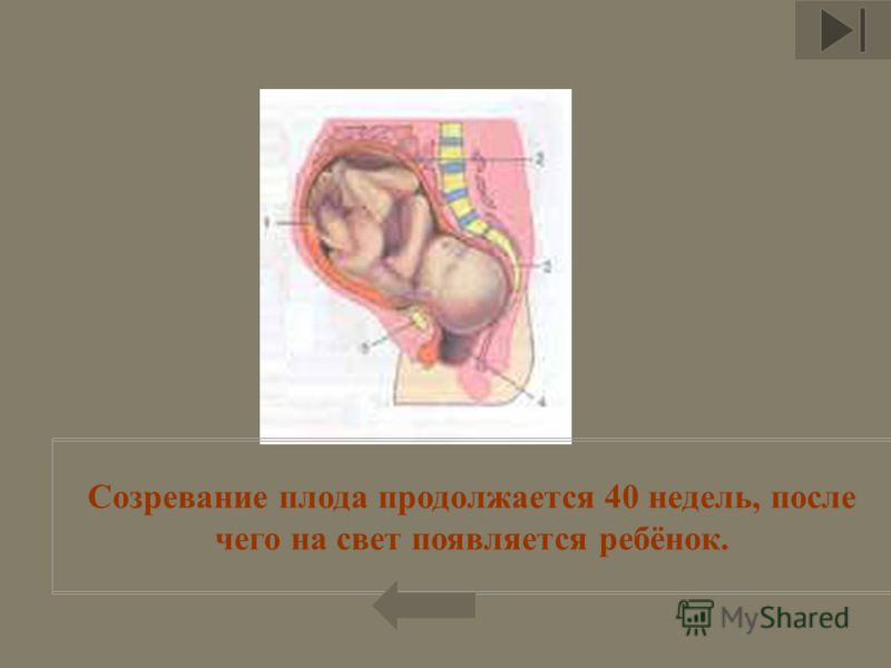 Созревание плода продолжается 40 недель, после чего на свет появляется ребёнок.