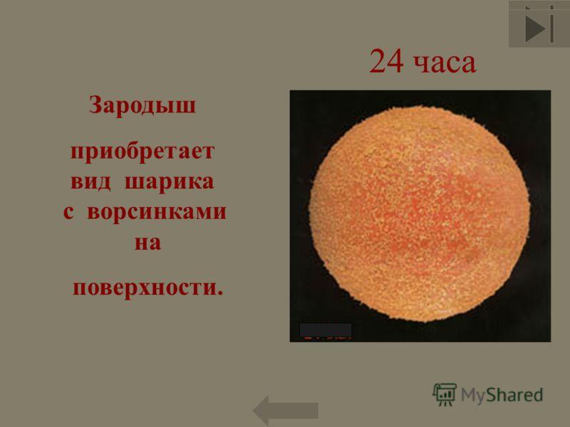 24 часа Зародыш приобретает вид шарика с ворсинками на поверхности. 77