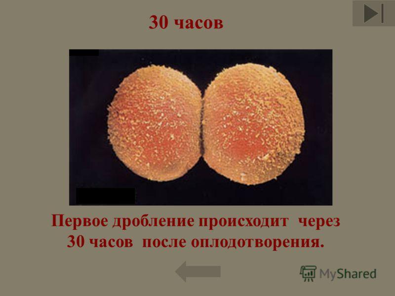 30 часов Первое дробление происходит через 30 часов после оплодотворения.