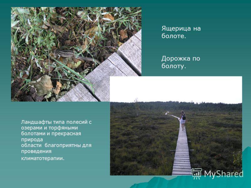 Ящерица на болоте. Дорожка по болоту. Ландшафты типа полесий с озерами и торфяными болотами и прекрасная природа области благоприятны для проведения климатотерапии.