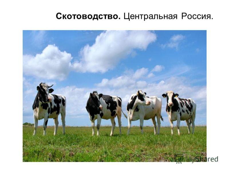 Скотоводство. Центральная Россия.